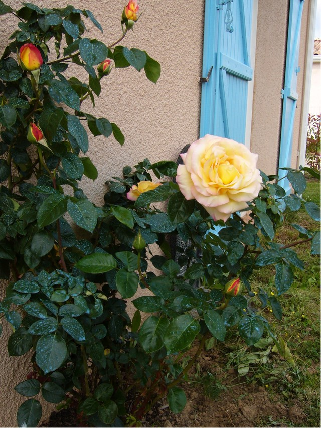 le rosier jaune le-rosier-jaune.jpg