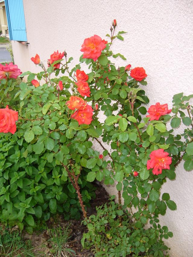 les roses de mon jardin les-roses-de-mon-jardin.jpg
