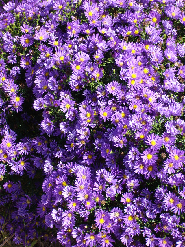 mes fleurs : les asters mes-fleurs-les-asters.jpg