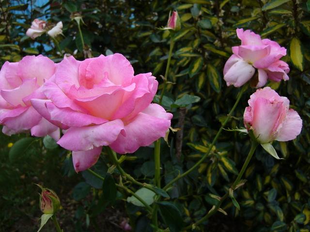 roses d'octobre roses-d-octobre.jpg