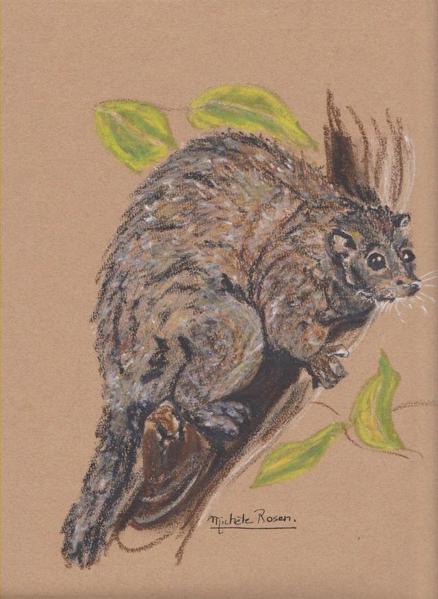 australie /oppossum australie-oppossum.jpg