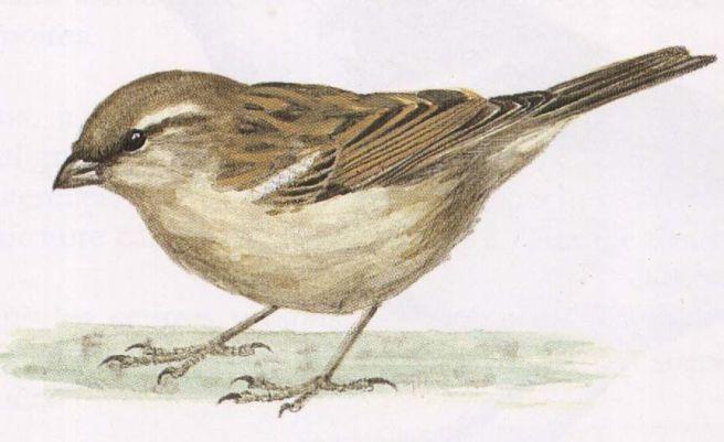 Dessins_de_petits_oiseaux_-_oiseau-moineau-femelle1